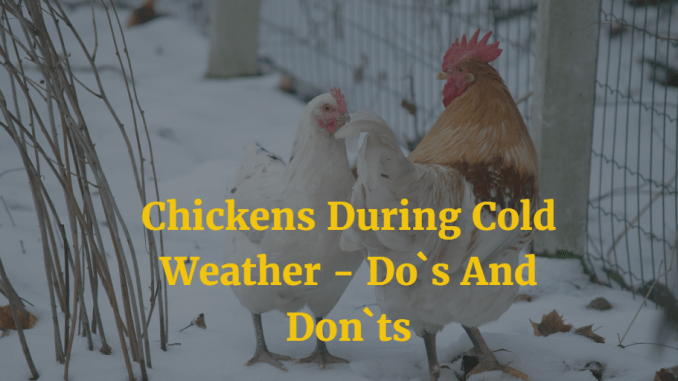 Chickens During Cold Weather - Do`s And Don`ts