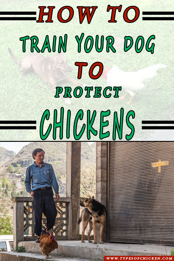 How To Train Dog To Protect Chickens