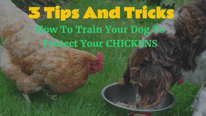 How To Train Your Dog To Protect Chickens