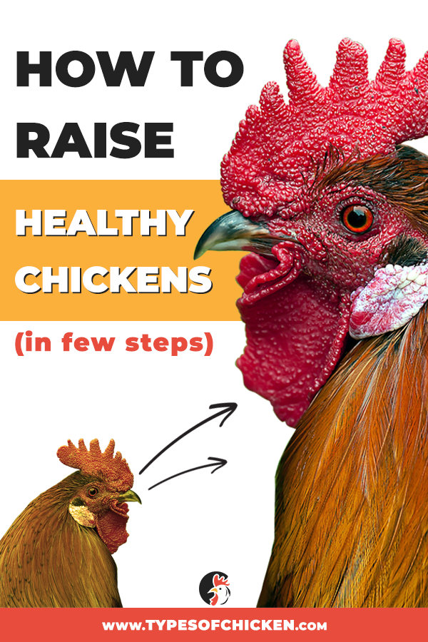 In this article we talked about few tips on how to raise healthy chickens, followed by suitable steps that should be taken timely. Hope you find the information valuable. #raisingchickens #raisehealthychickens #healthyflock #backyardchickens #farmlife #homesteading #homestead #farmer #chickenkeeper #chicken #urbanchickens