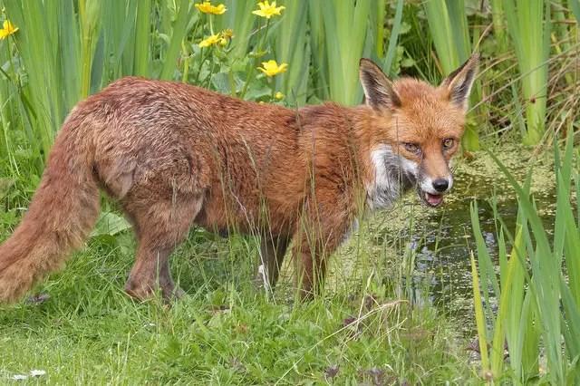 Chicken Predators - Fox