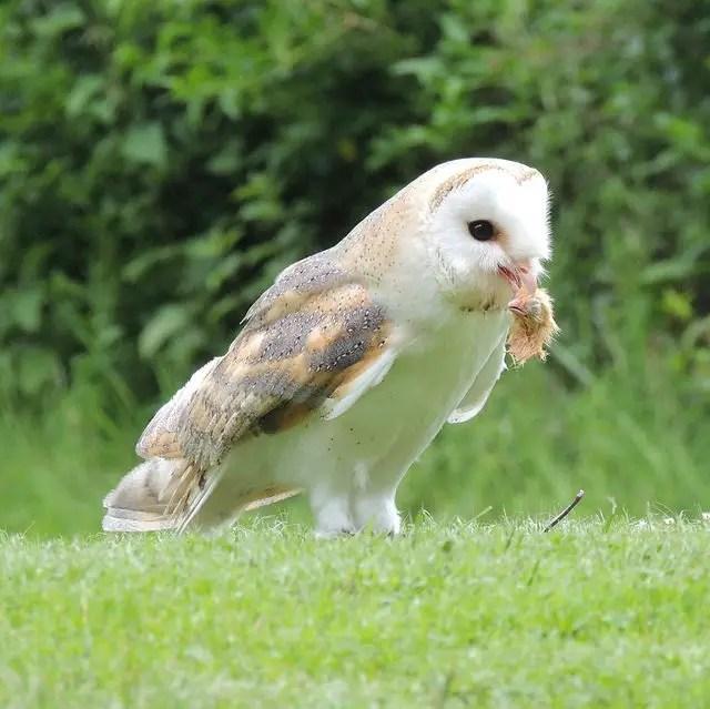 Chicken Predators - Owls