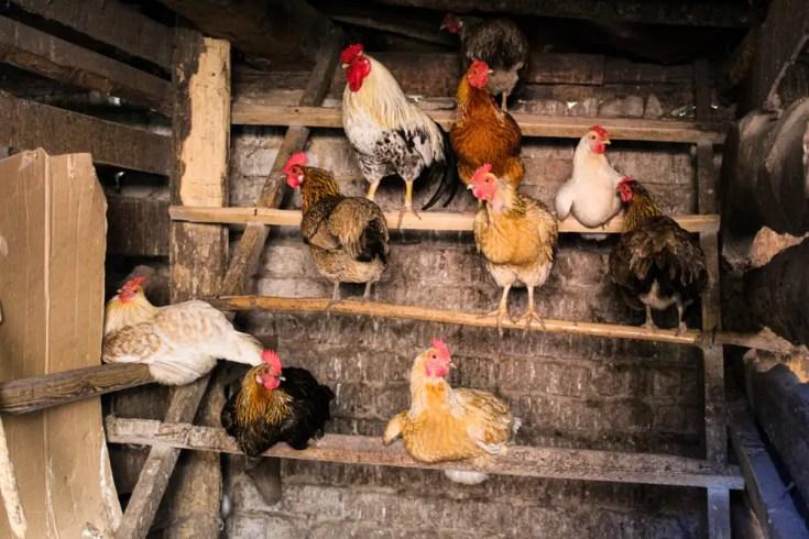 Dirt Chicken coop