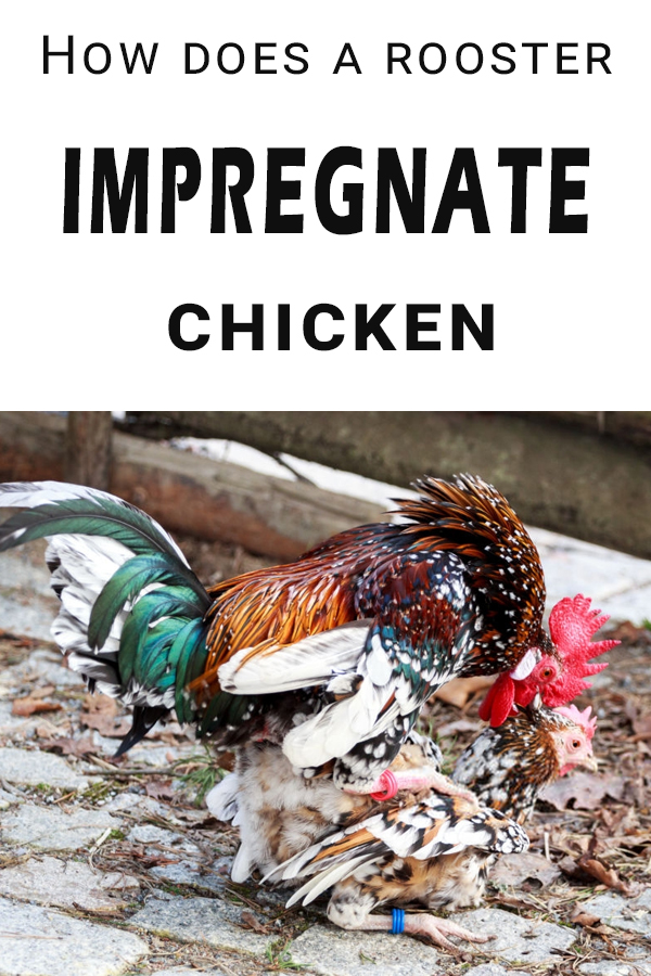 First things first, a rooster does not impregnate a hen. Hens do not get pregnant, they lay eggs which can be fertile or not. #raisingchickens #chickens #rooster #mate #impregnate #homestead #farmlife #urbanlife #farmer #flock #animals #poultry