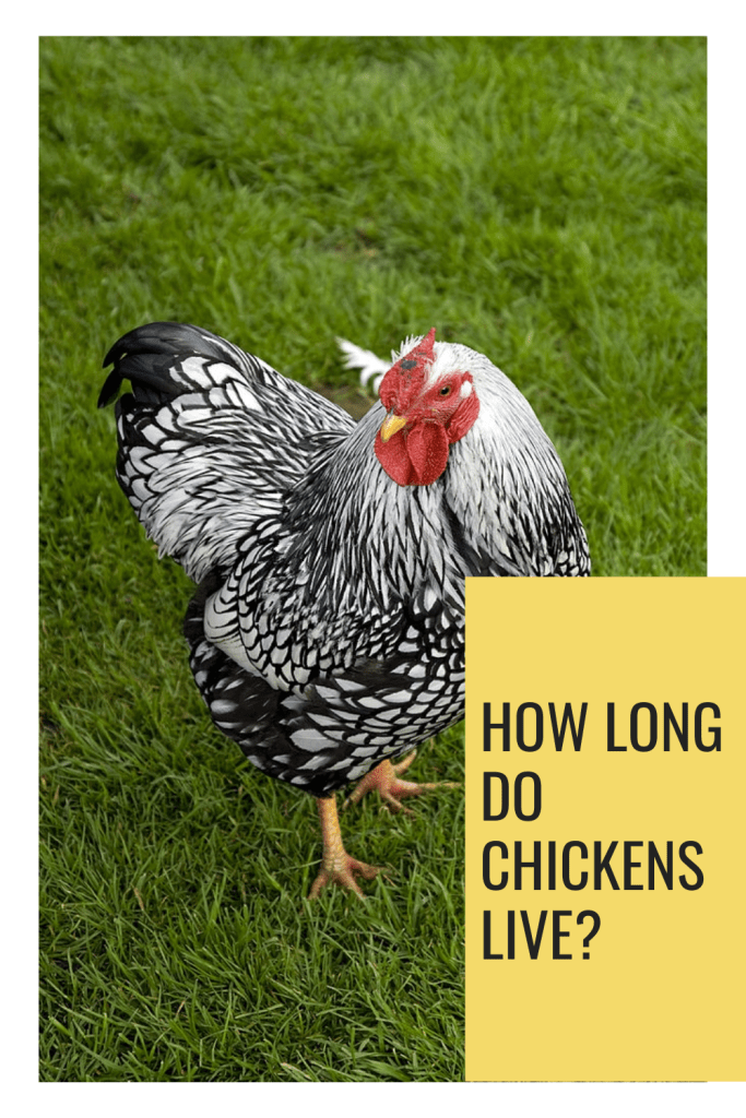 Want to know how long do chickens live? Heritage hens live about eight years. They're often kept in backyards, where there isn't such an imperative to maximize egg production or bulking up their meaty bits.