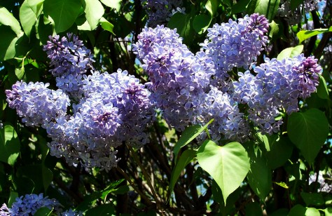 purple-lilacs