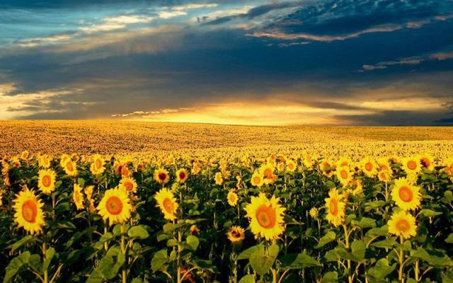Βόρεια Ελλάδα: Ηλίανθος, το βιοκαύσιμο που «μαγνητίζει» τους ...