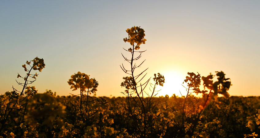 Canola Fields at Sunset