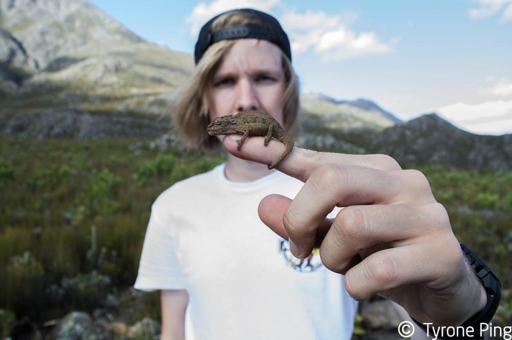 Bradypodion atromontanum   Swartberg Dwarf Chameleoen   Tyrone Ping   South Africa