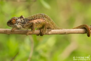 Bradypodion transvaalense| Transvaal Dwarf Chameleon | Tyrone Ping