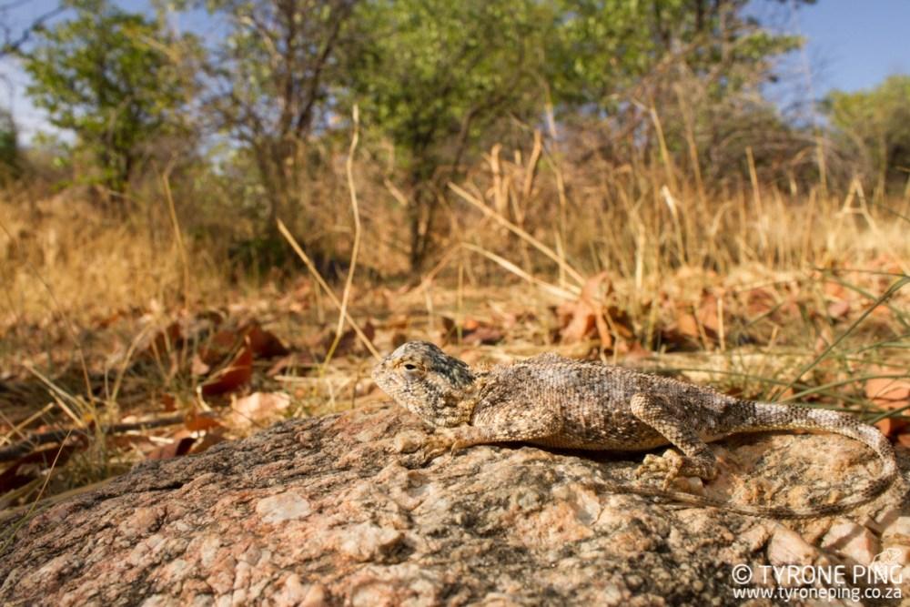 Agama anchietae| Anchieta's Agama | Tyrone Ping | Namibia