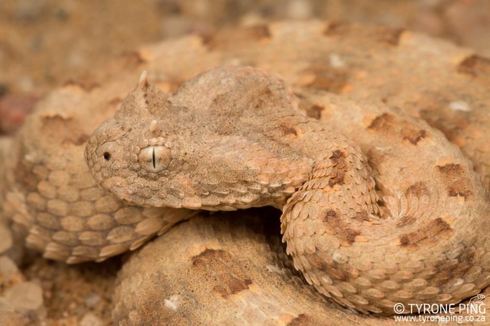 Bitis caudalis | Horned Adder | Tyrone Ping | Namibia