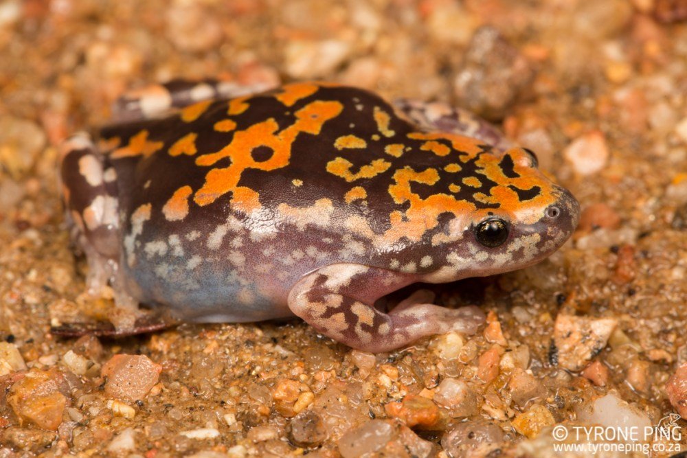 Phrynomantis annectens | Marbled Rubber Frog | Tyrone Ping | Namibia