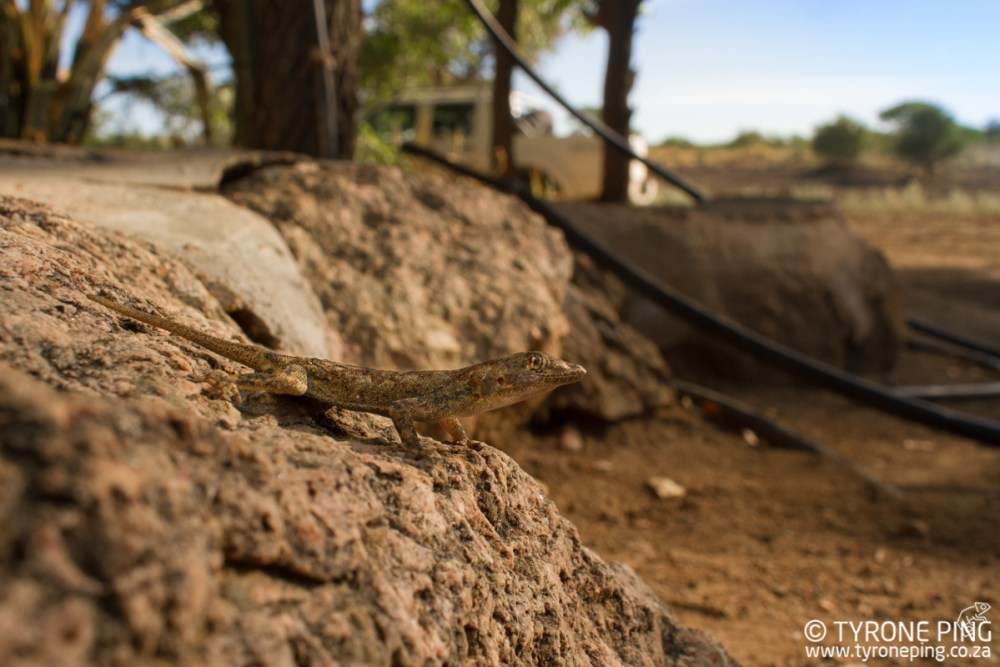 Rhoptropus barnadi   Barnards Day gecko   Tyrone Ping   Namibia