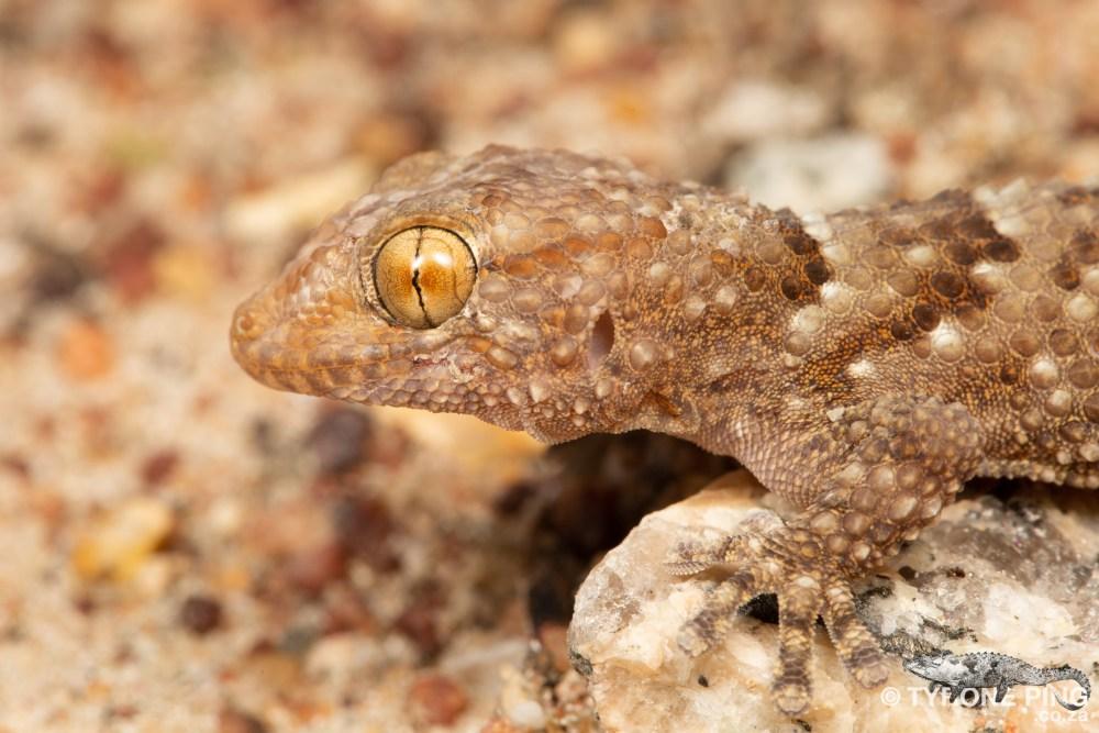 Chondrodactylus bibronii | Bibrons Gecko | Tyrone Ping