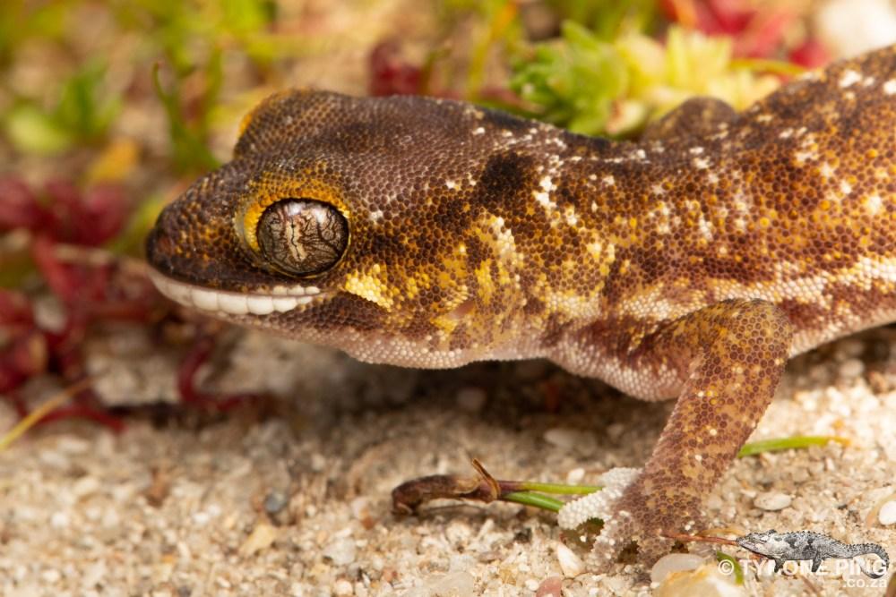 Pachydactylus austeni | Austens Dune Gecko | Tyrone Ping