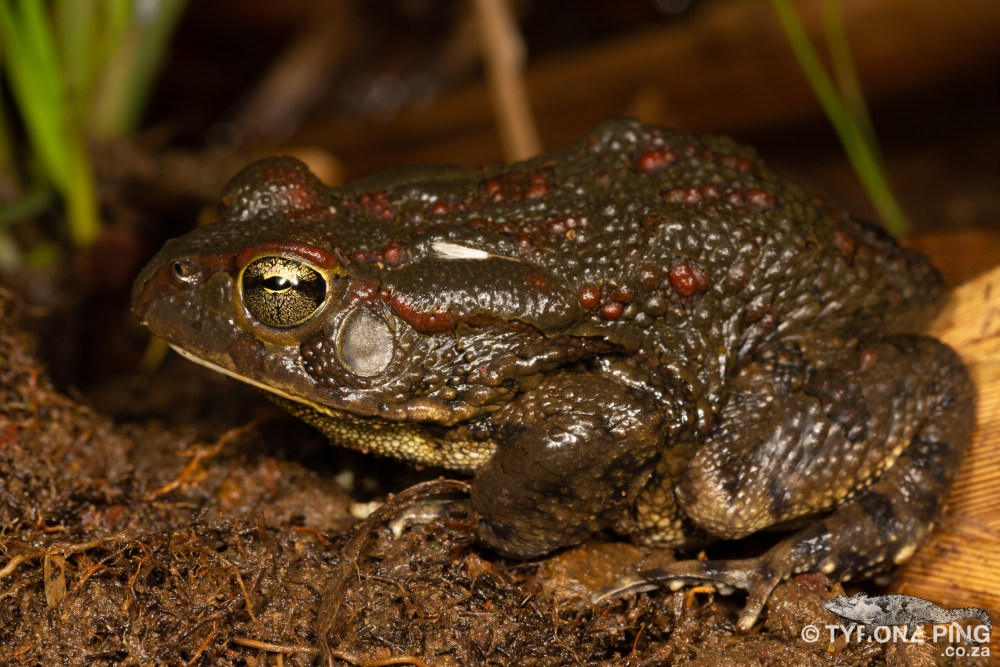 Sclerophrys garmani | Eastern Olive Toad | Tyrone Ping