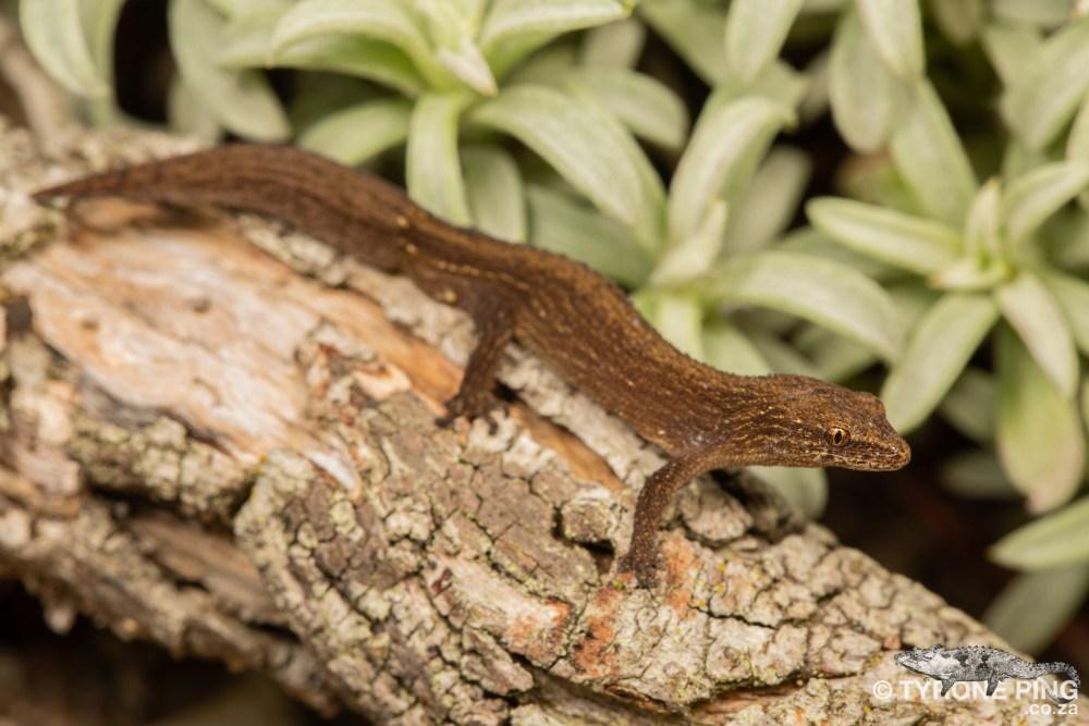 Cryptactites peringueyi | Salt Marsh Gecko | Tyrone Ping