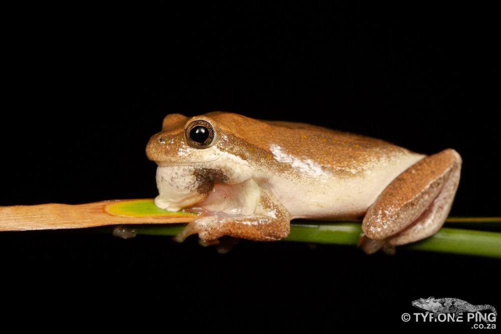 Painted Reed Frog | Hyperolius marmoratus taeniatus | tyrone Ping
