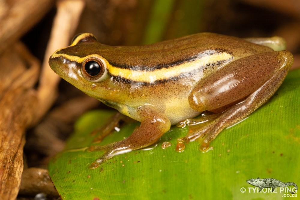 Hyperolius argus | Argus Reed Frog | Tyrone Ping