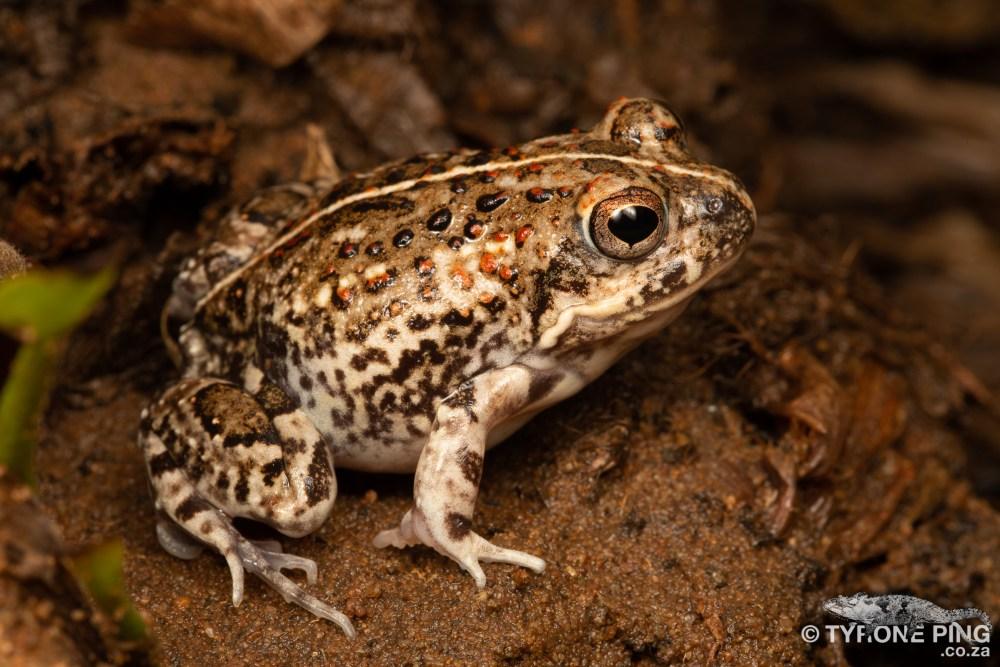 Tomopterna cryptotis   Tremolo Sand Frog   Tyrone Ping