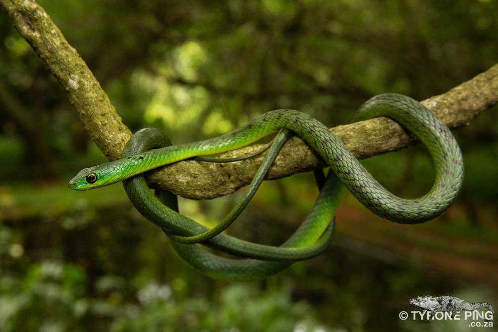 Philothamnus natalensis natalensis - Eastern Natal Green Snake