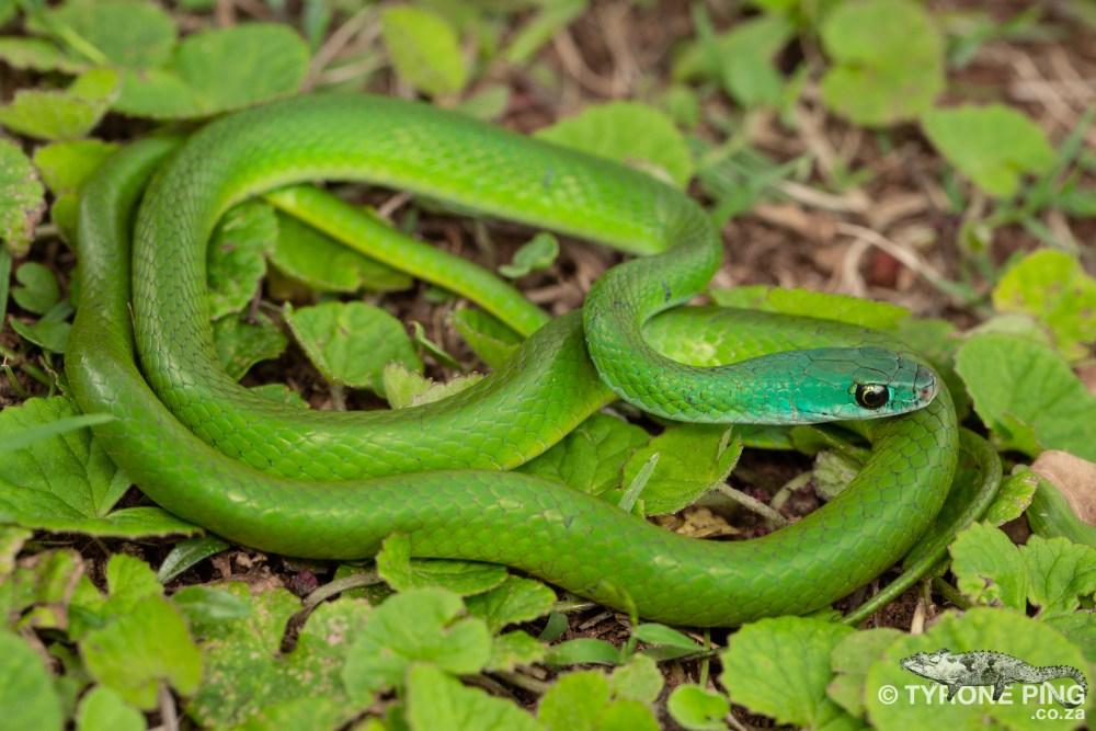 Philothamnus hoplogaster - Green Water Snake