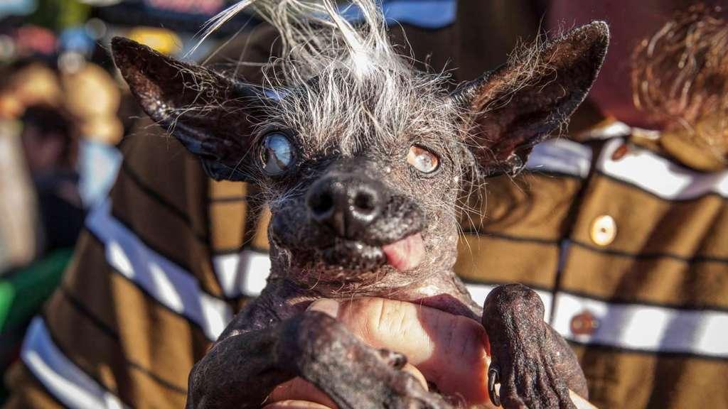 Ugliest Dog Contest Schaulaufen der Hsslichen Hunde  Tiere
