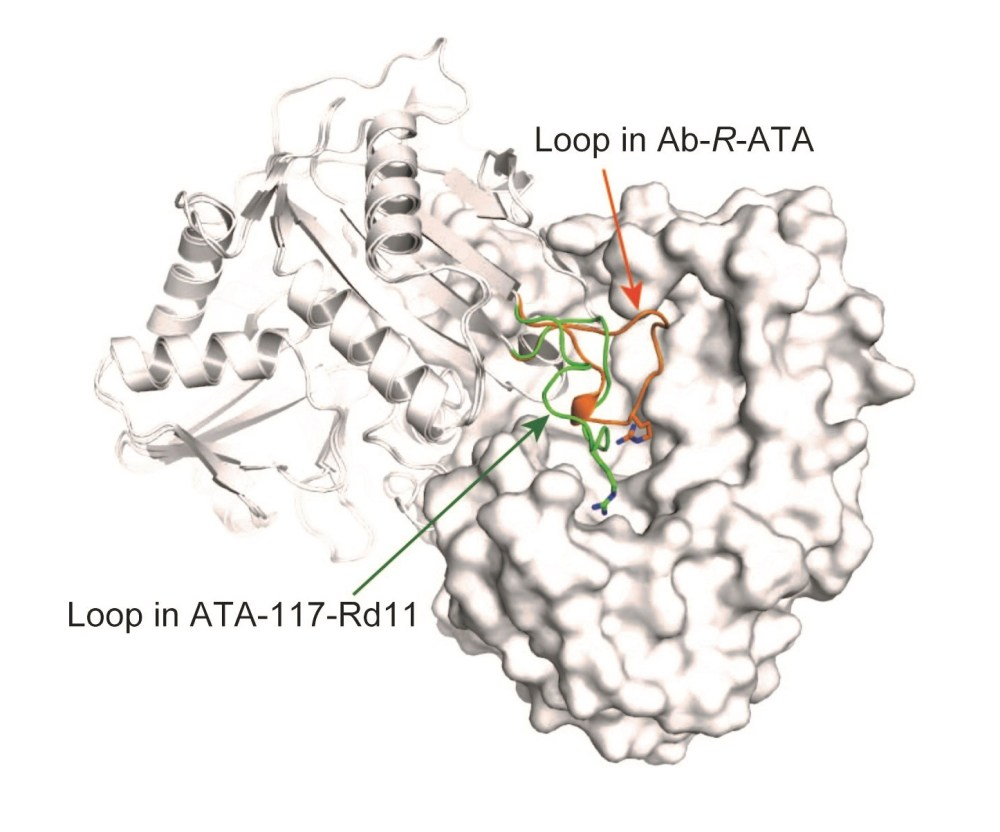 medium resolution of how an important enzyme used in drug production recognizes its substrate increased use of enzymes producing chiral amines
