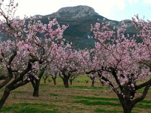 Healthy Walking - PARCENT – Blossom Walk @ Coming from Jalon-Alcalali, in Parcent, on the T-junction Avenida de Denia / carreter Benidorm-Pego.
