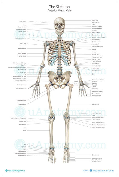 human bone structure diagram shunt trip wiring square d skeleton anatomy chart poster posters