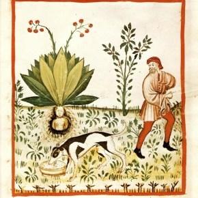 Aconite and mandrake: Crypto-pharmacological botanicals in Shakespeare