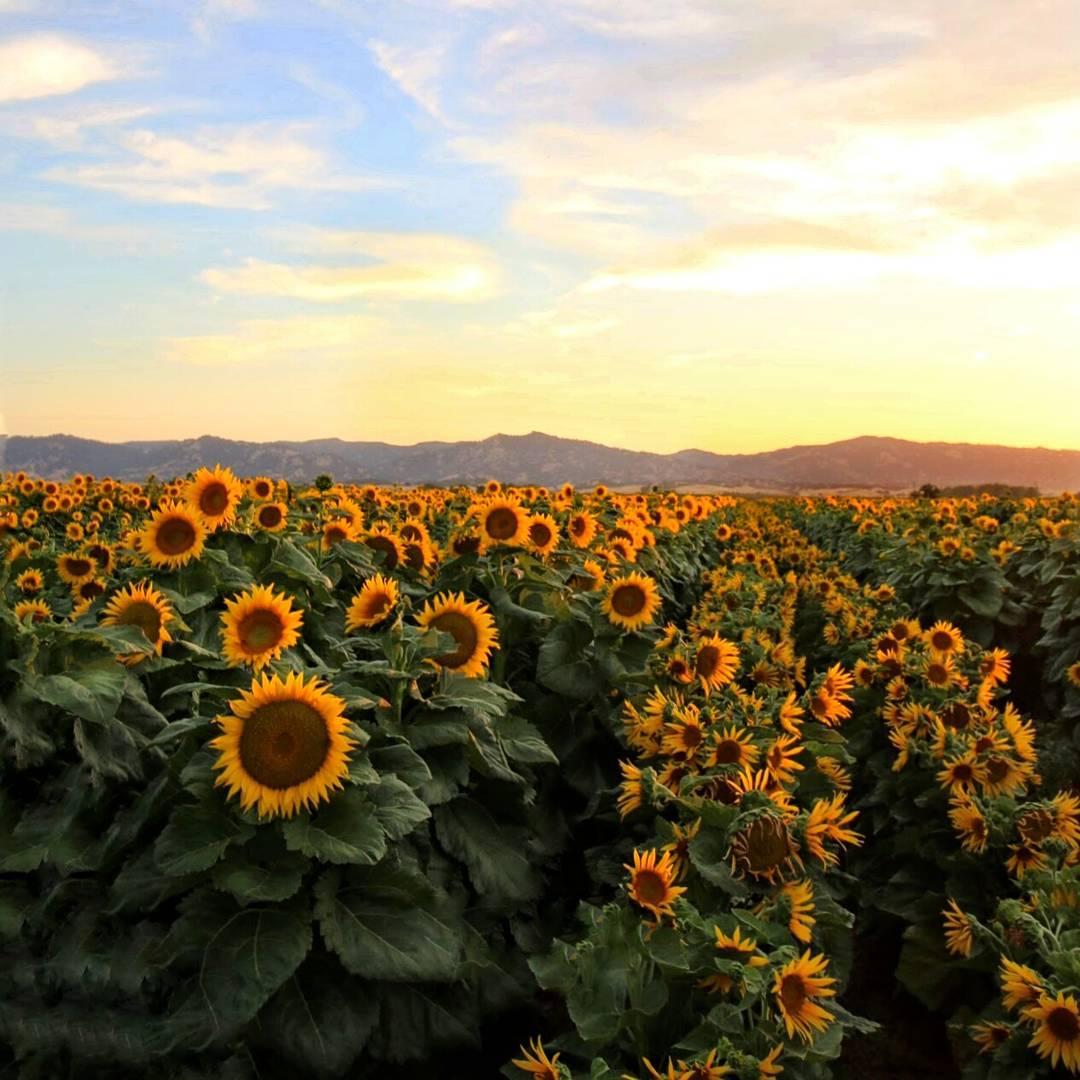 Fall Sunflowers Wallpaper Sunflowers Move By The Clock Uc Davis