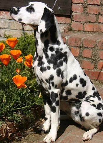 Dalmatian Bladder Stones Caused by Gene That Regulates Uric Acid in Humans  UC Davis