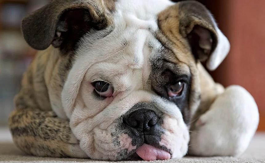 Pug Wallpaper Cute English Bulldog S Gene Pool May Be Too Small To Heal The