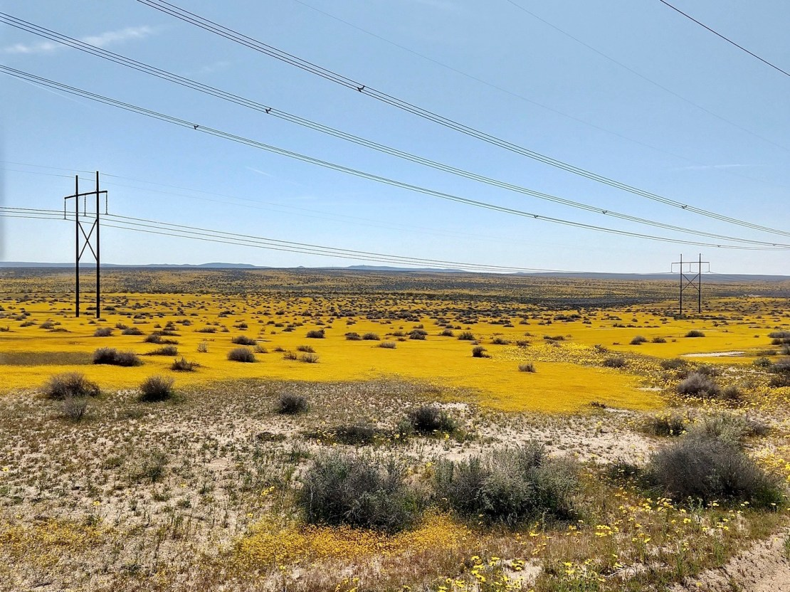 Mojave desert covered with yellow flowers