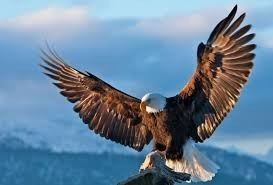 vultur cu aripile intinse