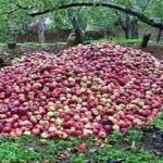 أزمة التفاح