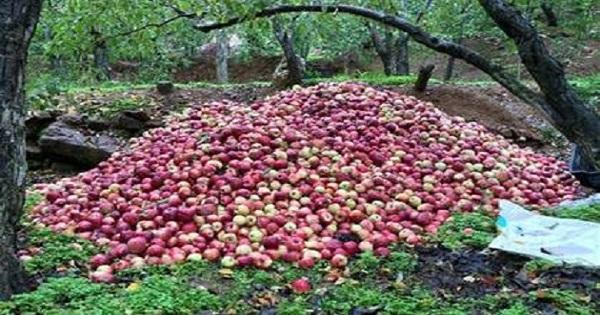 الجمعية التعاونية لانماء الزراعة في تنورين طالبت الدولة بالتعويض على مزارعي التفاح فورا