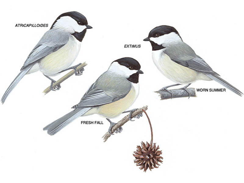 Drawings of Carolina chickadees in different plumage