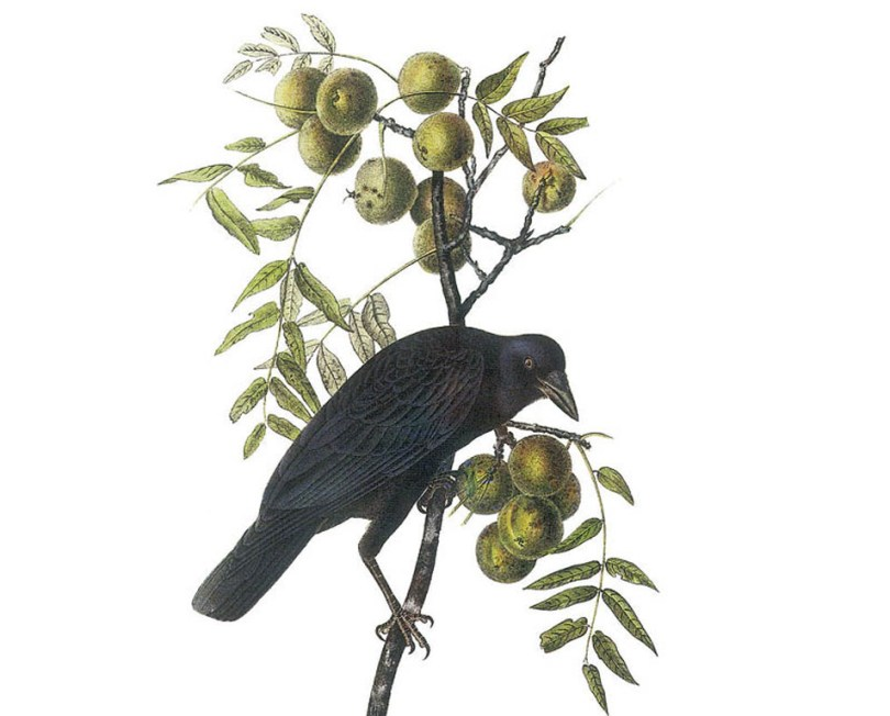 Drawing of an American crow in a walnut tree