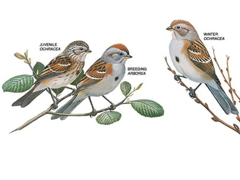 Drawings of American tree sparrows