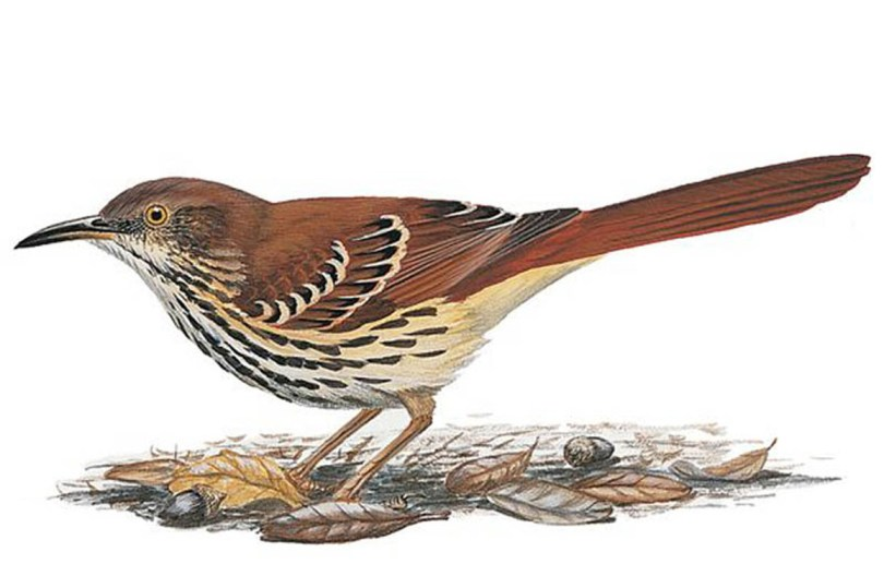 Drawing of a brown thrasher