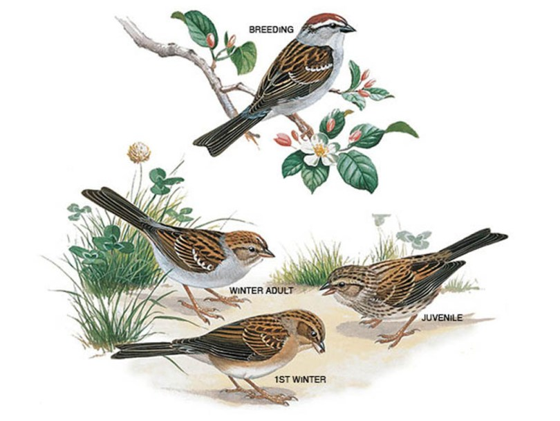 Drawings of chipping sparrows