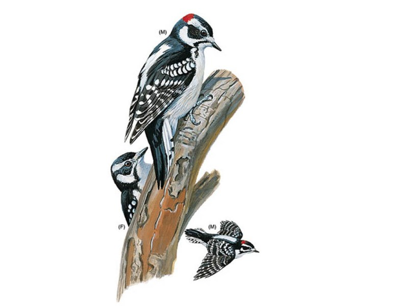 Drawings of downy woodpeckers