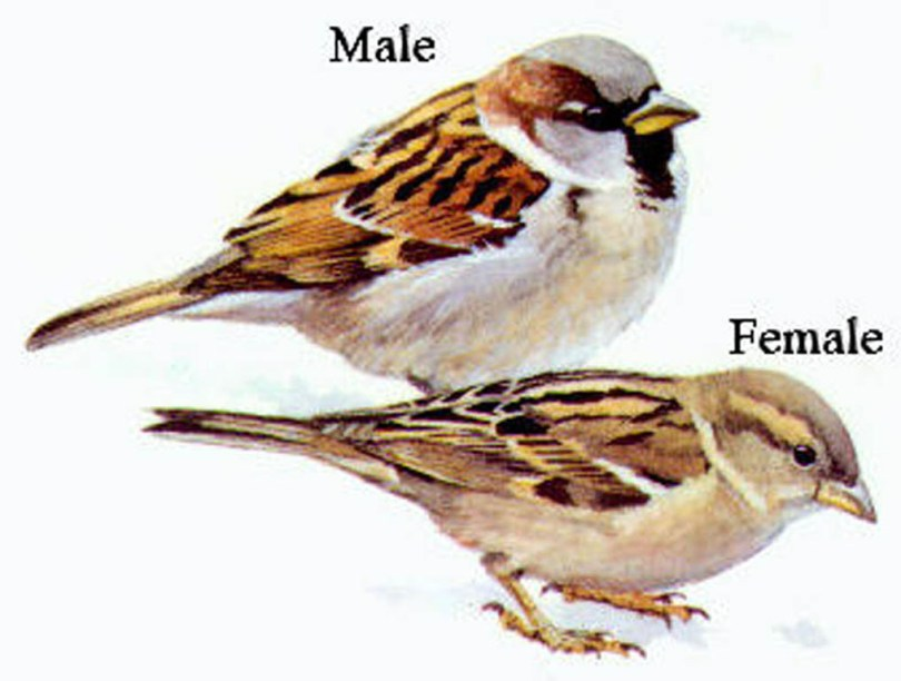 Drawings of house sparrows