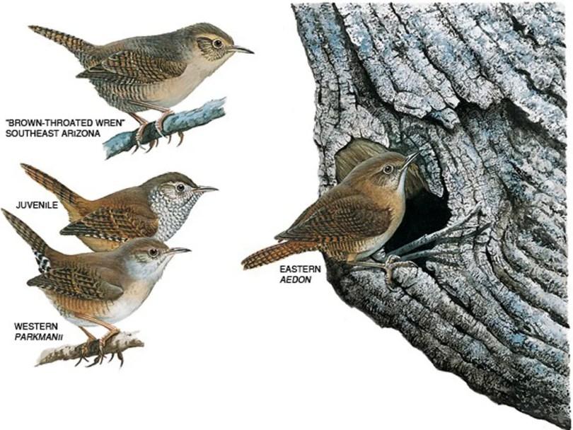 Drawings of house wrens