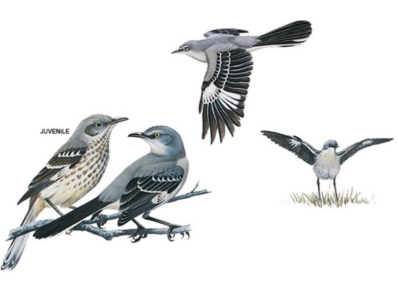 Drawings of mockingbirds