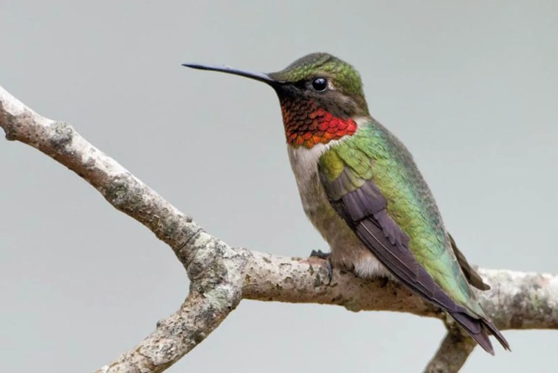 Male ruby-throated hummingbird on a branch