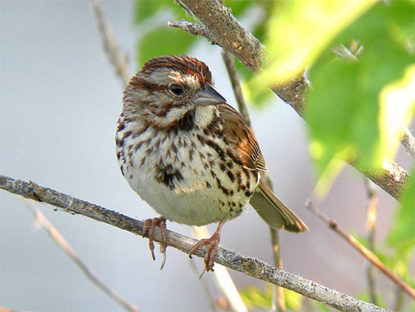 Song sparrow on a small branch